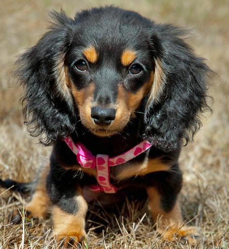 Cute Dogs Miniature Dachshund Dog
