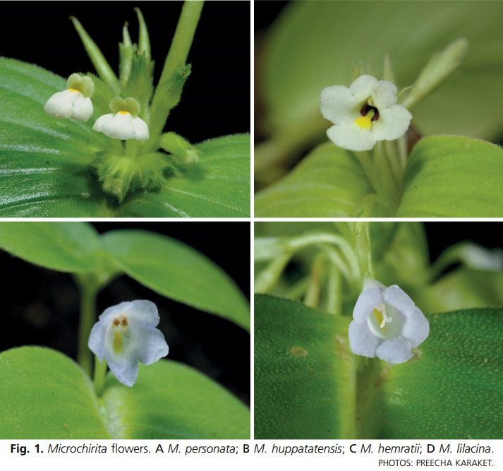 Four New Species of Microchirita from Thailand