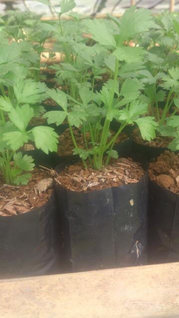 menanam seledri dalam polybag