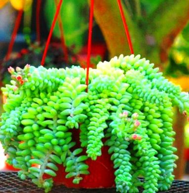 dekorasi tanaman sukulen (indoor planter) - conggado
