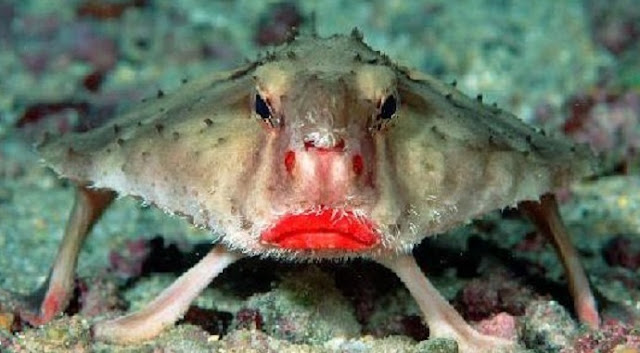 red lipped bat fish