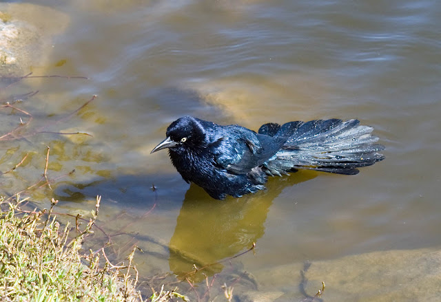 Great-tailed Grackle bath