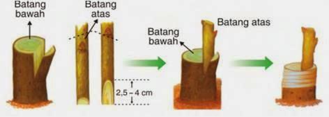 cara menanam pohon mangga yang baik dan benar