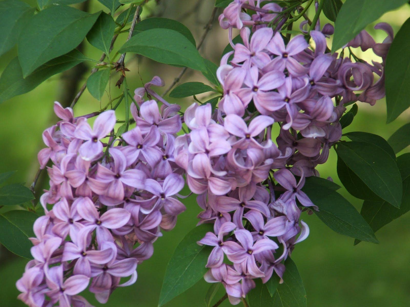 Gods Growing Garden Maintaining Lilac Bushes