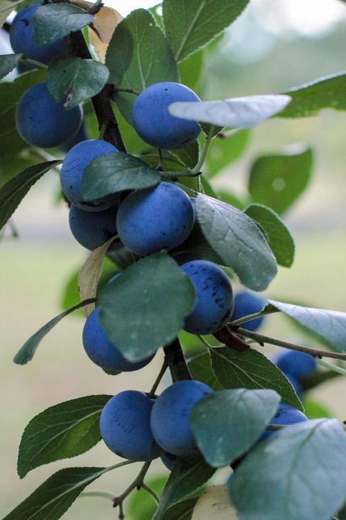 plums, Pflaumen am Baum