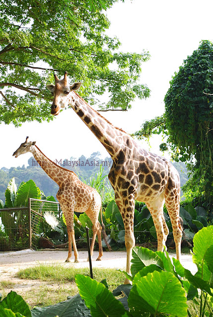 Singapore Zoo Giraffes
