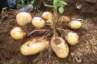 Image result for batang kentang
