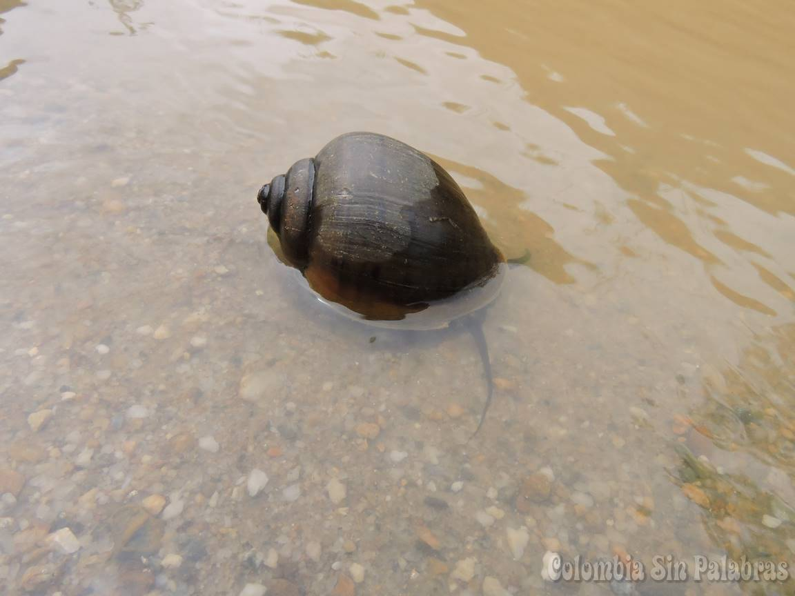 caracol grande de color café oscuro sumergido en el agua
