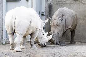 Rhino | A-Z List of 125 Rare Albino Animals [Pics]