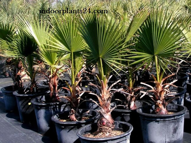 Palmae Desert fan Palm Indoor House Plant