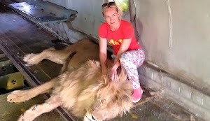 Nekat Masuk ke Kandang Singa, Wanita Ini Dicabik-cabik Bak Boneka