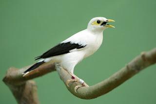 6 Tips Dan Cara Perawatan Burung Jalak Putih Agar Cepat Gacor Setiap Hari