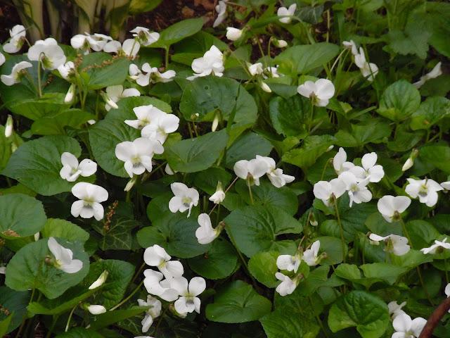 białe kwiaty, okrywowe