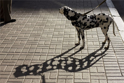 Funny Dalmatian shadow picture