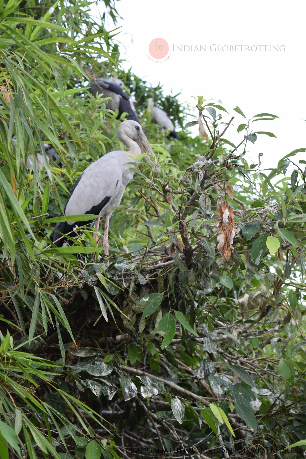 Open Billed Stork in Ranganathittu Bird Sanctuary