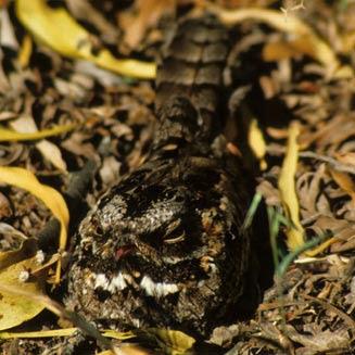 Caprimulgus pectoralis
