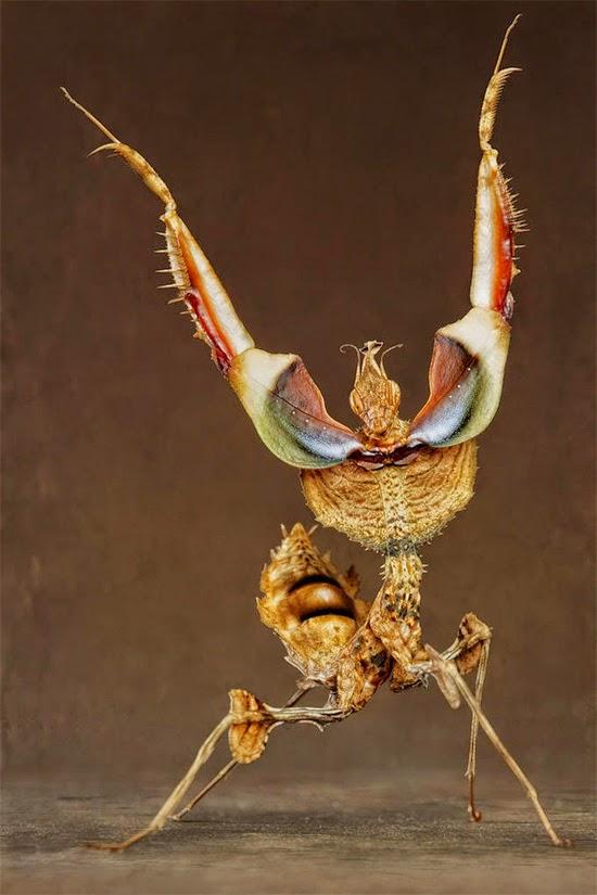 Idolomantis Diabolica - Louva Deus Rei - Giant Devil's Flower Mantis