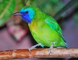 Kumpulan Gambar Burung Cucak Ijo Mini
