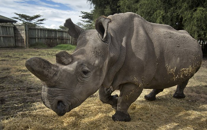15 Animals That Are In Danger Of Extinction (Unless We Try To Protect Them) - Northern White Rhino