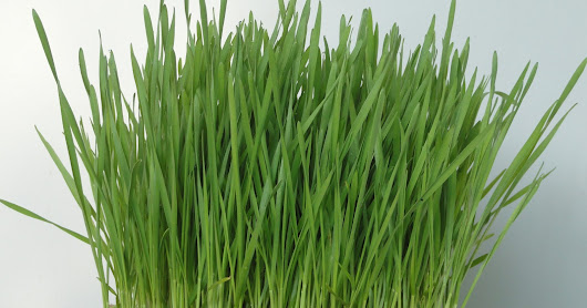 Wheatgrass for Weight Loss