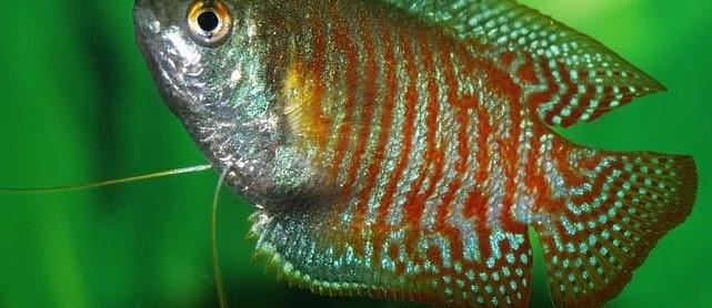 Gambar Ikan Sepat Rawa, Siam, Mutiara, Biru, Terbesar Harga Mahal