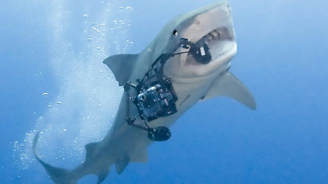 tiger shark eating camera