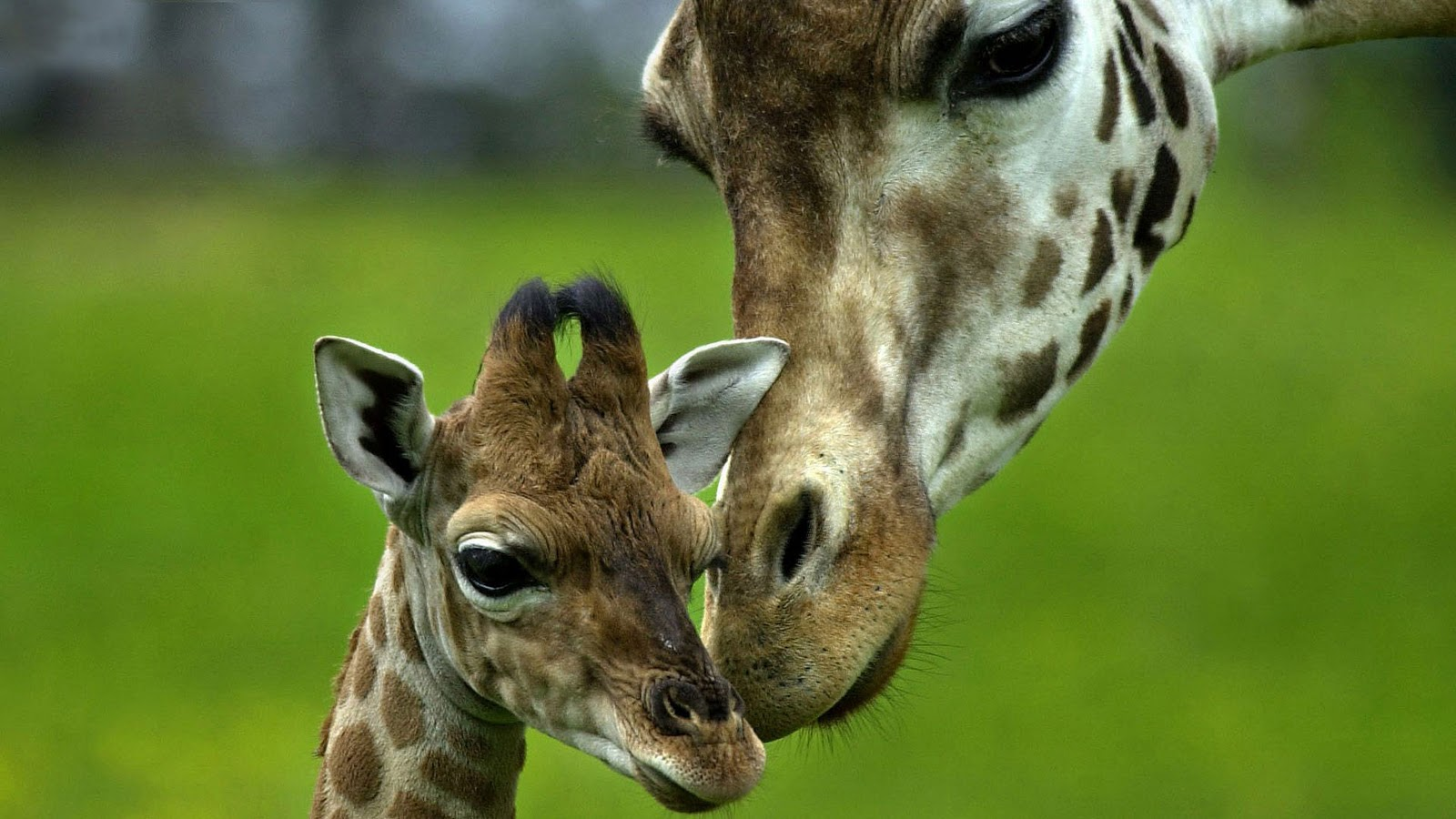 giraffe wallpapers hd pictures - photo #16