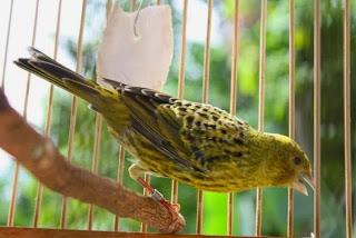 Burung Kenari Lizard (Kenari Kadal) - Solusi Penangkaran Burung Kenari - Mengenal Burung Kenari Lizard