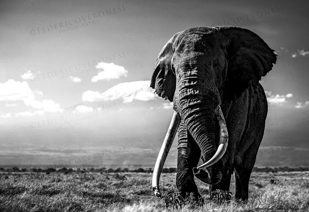 Elephant Black and White Desktop
