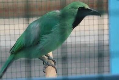 5 Ciri Ciri Burung Cucak Ijo Banyuwangi Dari Segi Fisik Yang Paling Akurat Kicau Mania