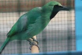 5 Ciri Ciri Burung Cucak Ijo Banyuwangi Dari Segi Fisik Yang Paling Akurat
