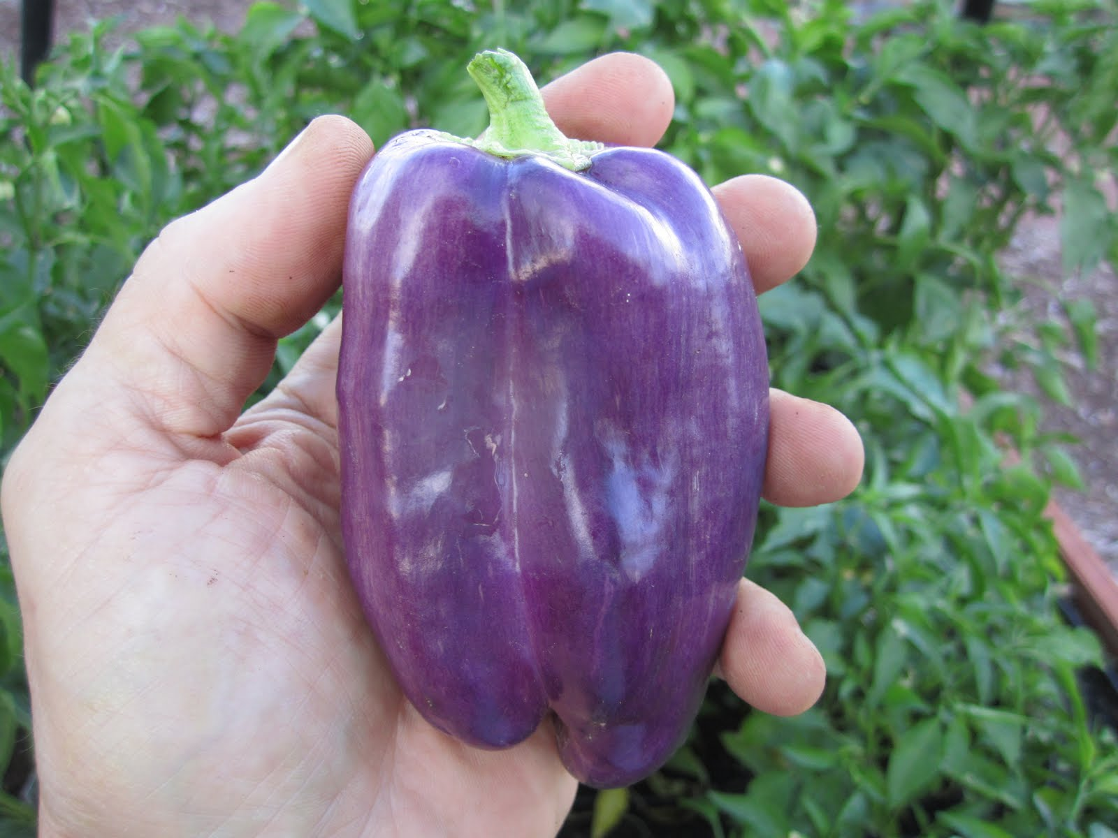 The OctoGarden Purple Peppers
