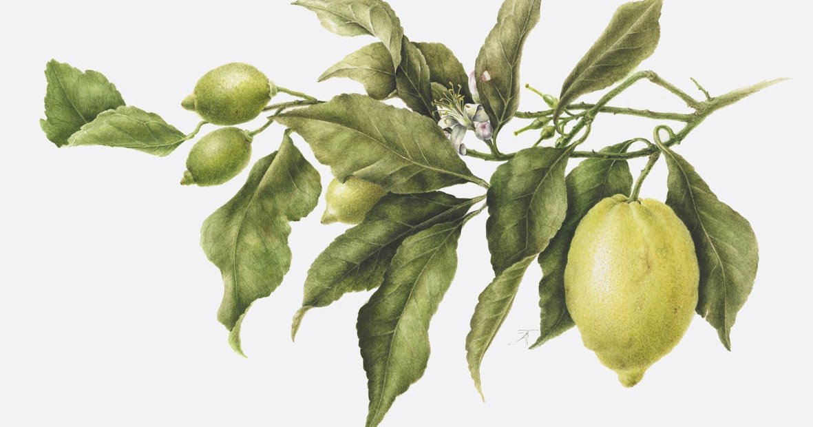 Limoni Disegno: Hortus Floridus Di Aurora Tazza : Hesperides, Oro Di Sorrento