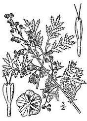 Manfaat Artemisia Annua