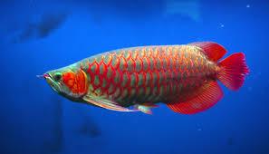Ciri Ikan Arwana Merah ( Schelerepages Formosus )
