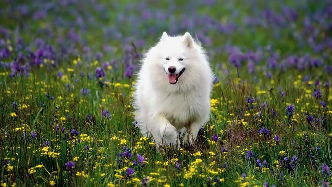 American Eskimo Dog Information Review ~ Bullcatdog