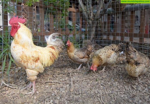 El ICIA trabaja en la caracterización morfológica y genética de la gallina canaria