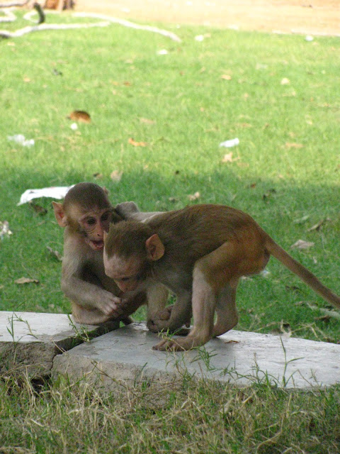 animal behavior, Bonnet Macaque, Haryana, playing monkeys, funny pictures, funny animal pictures,