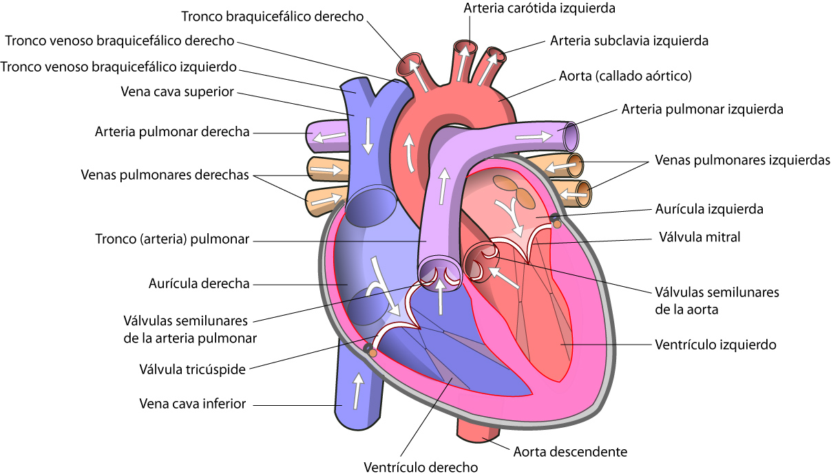 corazo%25CC%2581n - El Corazón Humano Anatomía, Función