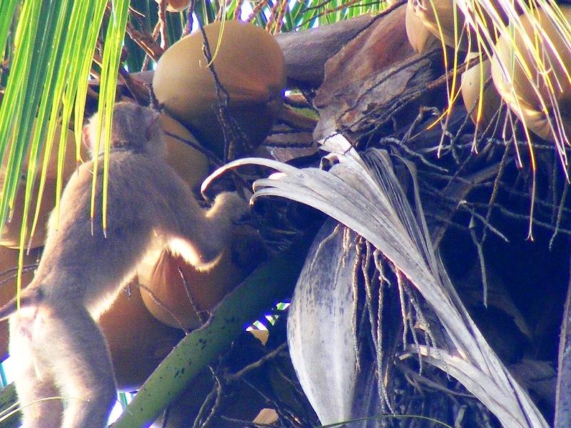 обезьяна собирает кокосы