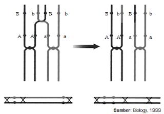 Mekanisme Peristiwa Pautan dan Pindah Silang Gen Dalam Proses Hereditas atau Pewarisan Sifat