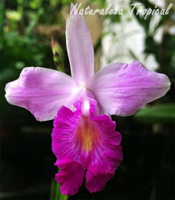 Flor de la Orquídea Bambú, Arundina graminifolia
