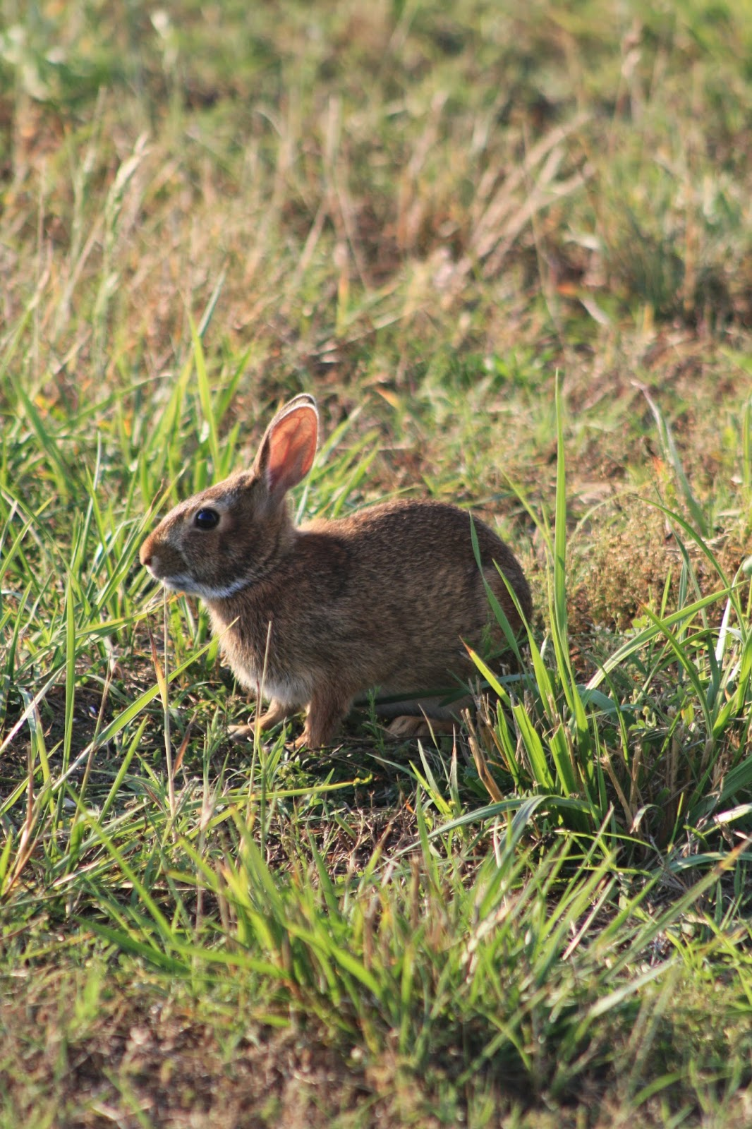 Flyover Country: Barrier island bunnies