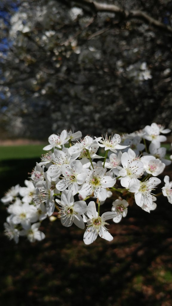Bradford Pear Blossoms #nature #blooms