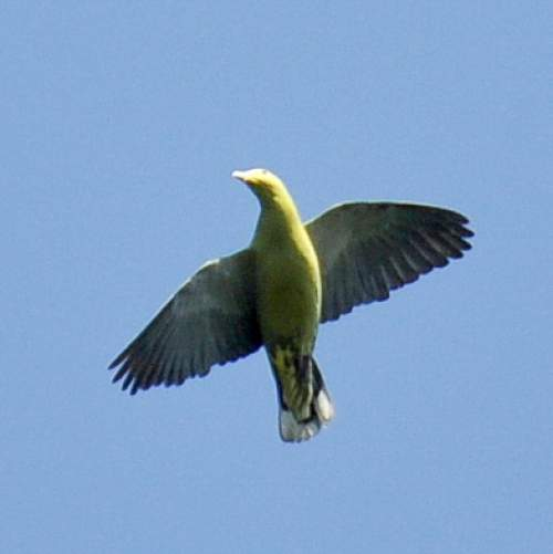 Indian birds - Image of Andaman green pigeon - Treron chloropterus