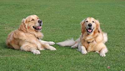 golden retriever dogs on artificial grass