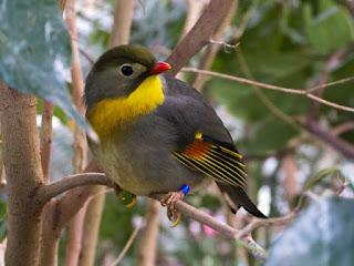 harga burung robin, burung robin, gambar burung robin, gambar robin