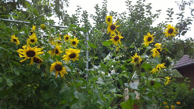mehrblütige Sonneblume im Gemüsegarten (c) by Joachim Wenk