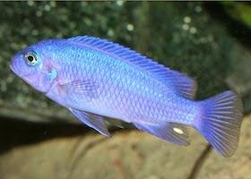 Ciclido Azul cobalto