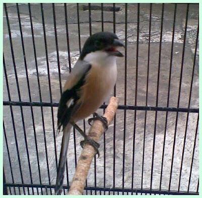 Burung Cendet merupakan burung pemangsa kecil yang memiliki sifat fighter yang cukup baik Menjaga Mental Burung Cendet